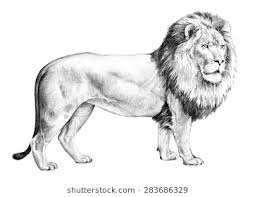 detailed lion drawings in pencil. Brilliant Drawings A Large Male Lion Standing In A Majestic Side View Pose And Isolated On  White Inside Detailed Lion Drawings In Pencil R