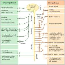Peripheral Nervous System Structure Summary