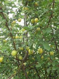 How About A Hedgerow  Botanical RamblesFruit Tree Hedgerow