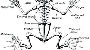 Parts Of A Frog Body Parts Of A Frog Excretory Body Parts Of Frog And Its Function