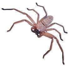 Australian House Spiders Chart List Of Common Spider Species Of Australia Wikipedia