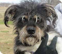 black wire haired terrier mix. Interesting Haired Throughout Black Wire Haired Terrier Mix