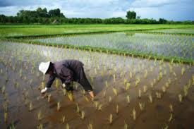 more carbon dioxide in the atmosphere and rising temperatures cause rice agriculture to release more of the potent greenhouse gas methane ch4 for each
