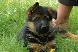 belgian belgian shepherd dog puppies for breed