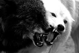 white wolf and black wolf howling. Why Do Wolves Howl At The Moon They Often Before Go Out Hunting To Announce Their Presence Strangers And Warn Them Intended White Wolf Black Howling