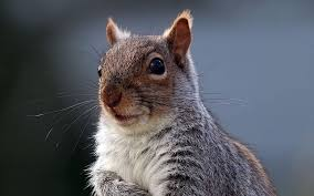 uk wants to cull grey squirrels