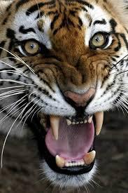 tiger face growling. Plain Face Bengal Tiger Face Growling  Photo5 To Tiger Face Growling R