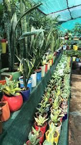 this nursery near my house really loves snake plants
