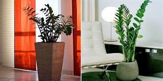 zz plant plant zamioculcas low light plants indoor plants best low light office plants