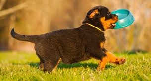 Rottweiler Size And Weight Chart Feeding A Rottweiler Puppy Schedules Quantities And More