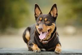 kelpie dog. dog breed corner: australian kelpie s