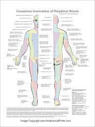 Cutaneous Innervation Of Peripheral Nerves Poster