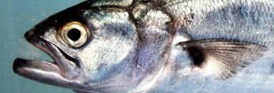 Bluefish Or Pejerrey