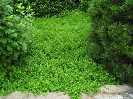 emerald carpet is a tight flat plant with bright green foliage and tiny yellow flowers spanish sandwort is dark green dense grows 1 inch tall and blooms