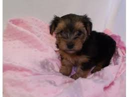 yorkshire terrier missing since 8 30 2017 ref 945247