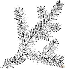 Canadian Hemlock Branch Coloring Page Supercoloring