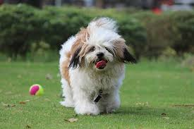 Lhasa Apso Diet Chart 5 Best Dog Foods For Lhasa Apsos In 2019 Pup Junkies