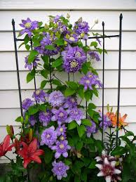 Full Size Picture Of Early Large Flowered Clematis Blue