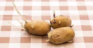 Kết quả hình ảnh cho khoai tây mầm