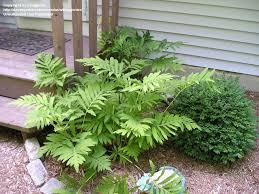 Image result for sensitive fern