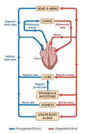 Pathway Of Blood Flow To The Right Kidney Flow Chart The Circulatory System