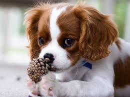 cavalier king charles spaniel puppies free 29 background