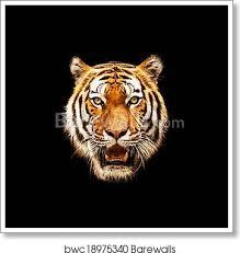 tiger face tiger on black background
