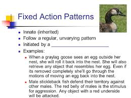Fixed Action Pattern Example Amazing Animal Behavior Ap Biology Ppt Download