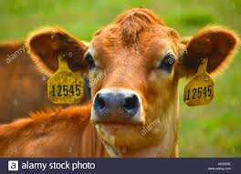 dairy cow face. Exellent Cow Cow Headshot With Identification Tags In Ears  Stock Image To Dairy Face Y