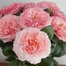 Mayra Garden Rose
