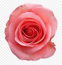 garden roses still life pink roses image clip art beach rose rose design