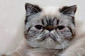 Ein Porträt Von Einem Exotic Shorthair Katze Mit Ihren Außergewöhnlichen  Look Lizenzfreie Fotos, Bilder Und Stock Fotografie. Image 25786225.