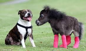 Bildergebnis für falabella pony