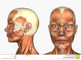 face anatomy anatomy of the head and face muscles of the face and neck diagram