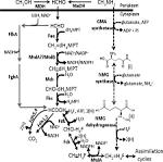 formate-tetrahydrofolate ligase
