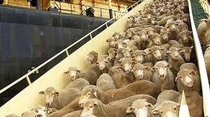 Peste cinci mii de oi exportate de români în Iordania au murit de foame pe vapor