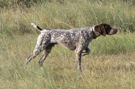 German Shorthaired Pointer Puppy Weight Chart German Shorthaired Pointer