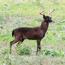 Melanistic Whitetails: Here's What We Know | QDMA