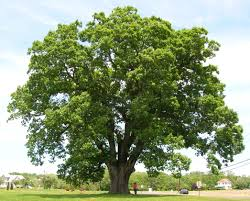 Oak Tree Growth Rate Chart Quercus Alba Wikipedia