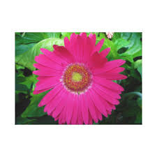 pink gerbera daisy floral wrapped canvas prints on gerbera daisy canvas wall art with pink gerbera daisy wrapped canvas prints zazzle