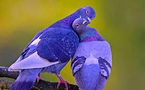 Image result for Chung đôi chim đẹp