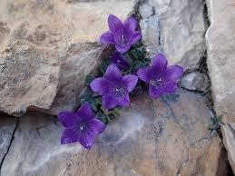 Dolomiten-Glockenblume – Wikipedia