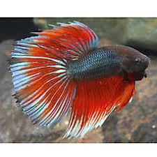 petsmart black goldfish.  Petsmart Half Moon Male Betta Intended Petsmart Black Goldfish A