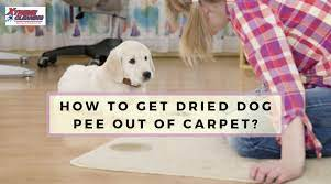 how to get dried dog out of carpet