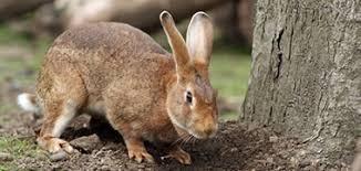 Iepurele - informatii si curiozitati despre, iepure