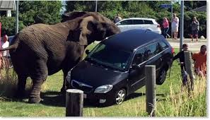 elephant tries to say goodbye to the circus s car in denmark earth changes sott net