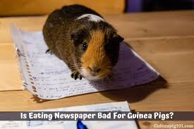 is eating newspaper bad for guinea pigs