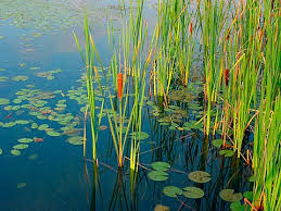 Image result for shallow water plant grow