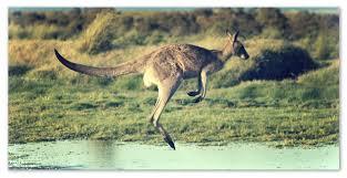 Доклад про кенгуру Внешний вид и особенности