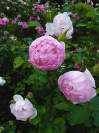 Rosas En Macetas Contenedores Cultivo Y CuidadosCuidados De Los Rosales